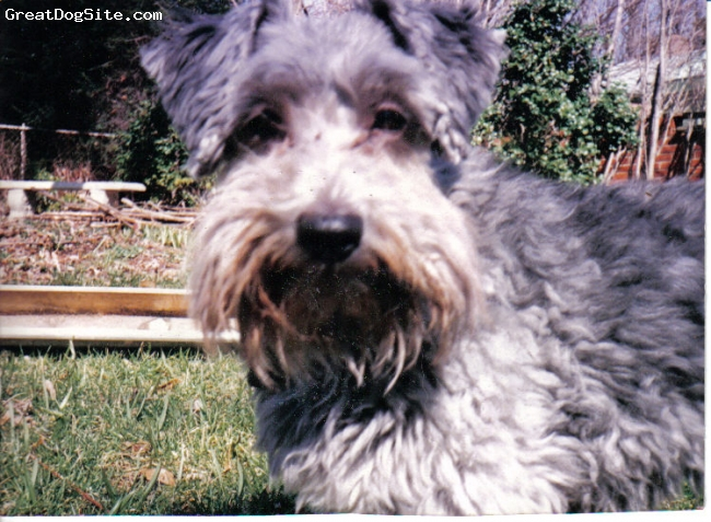 Schnoodle, Not Specified, gray, close up