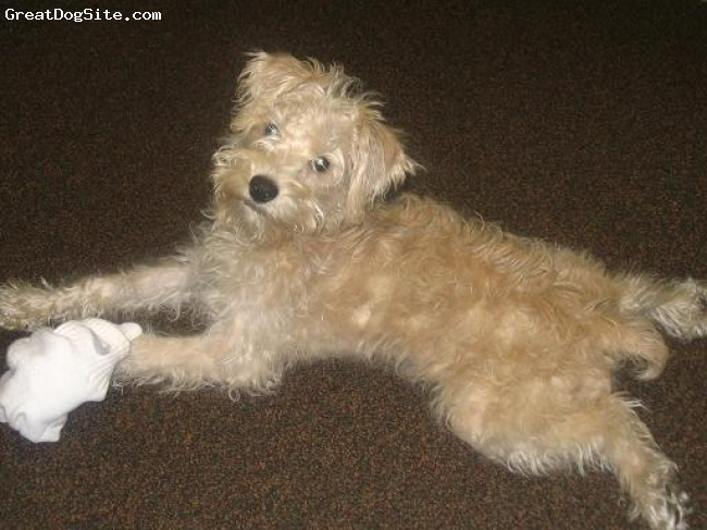 Schnoodle, Not Specified, cream, laying out