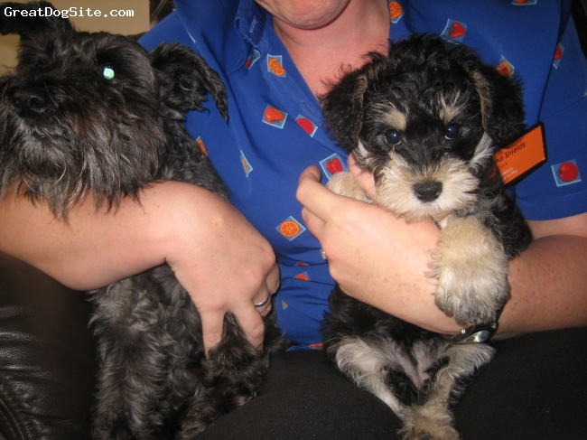 Schnoodle, 10 weeks, black and tan, lexi and roxie my other dog who is a schnauzer