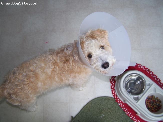 Schnoodle, 7months, cream/caremael, Sam just got fixed. he is ashamed.