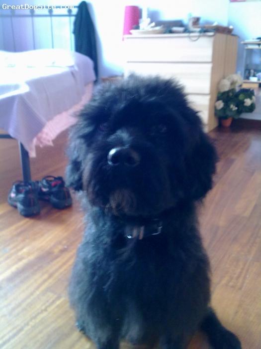 Schnoodle, 6, black, my lovable schnoodle!!