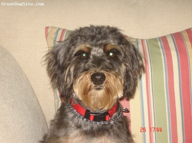 Schnoodle, 3, Black & Apricot, The BEST friend anyone could have!
