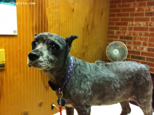 Schnoodle, 16, Black/White, A beautiful soul; calm, loving and very sweet.  Picture right after she was groomed for the hot Texas summer