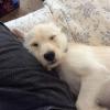 Schnu, 4 months, White/gold