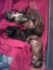 Schweenie, 5 days, brown n black females the only black