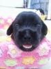 Schweenie, 8 months, Black