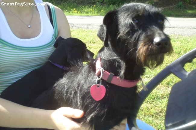 Schweenie, 4, Black, Jackie is a very lovable schweenie. She loves to run and play outside.