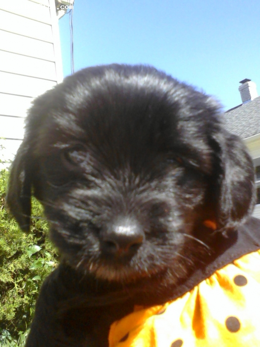 Schweenie, 7 weeks, black with white spots on chest, has a shih tzu face but her legs r short like her dachsund daddy