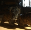 Scoland Terrier, 3 weeks, Brindle