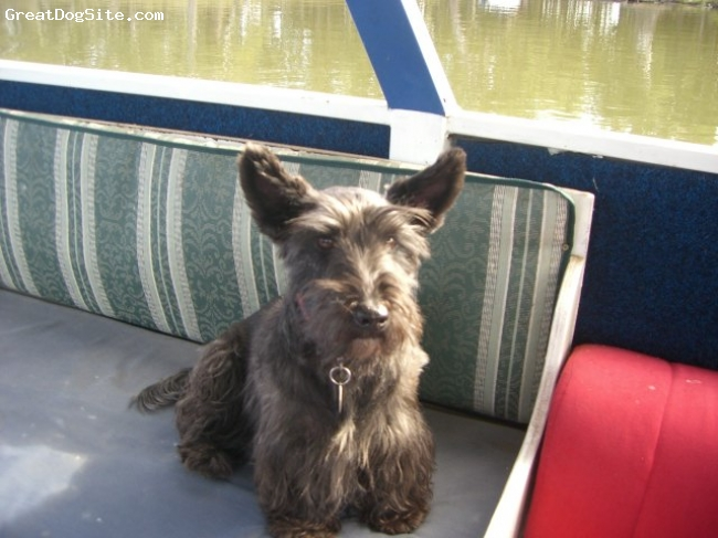 Scoland Terrier, 6, Black, Ally is my Scoland Terrier, who proves that they are a wonderful dog to keep. She is very smart, but a bit sneaky too. Ally does have skin allergies, as she is allergic to food, dust, mites, pollen and grass. Ally loves to sun bake, raid the bin (which she can open herself) and go for walks.