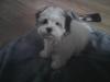 Scorkie, nearly 7 months, white&beige