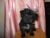 Scorkie, 10 weeks, black