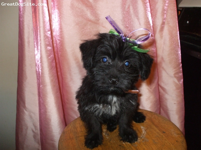 Scorkie, 10 weeks, black, Gabbi is all black with aliittle white on her chest. Has she is getting older, she is starting to get brown through her ears, sides and and her feet. She is now 14 weeks old. She is very smart and loving. She loves to cuddle and go bye byes.