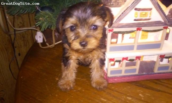 Scorkie, 5 weeks, black, Adorable little pup