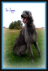 Scottish Deerhound, 3 yr old (2007), Grey