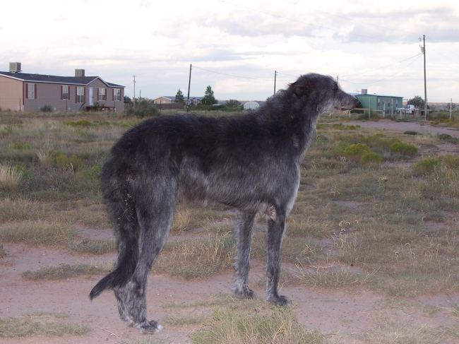 Scottish Deerhound, 5 years, black, my name is knight. i am a scottish deerhound. i am 34 in. shoulder height and weigh 127 lbs. i can run very fast.