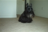 Scottish Terrier, 15, Black