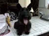 Scottish Terrier, 9 Years Old, Black