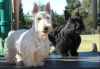 Scottish Terrier, 1 and 2, Wheaten and Black