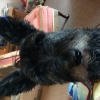 Scottish Terrier, 11, Black/whilte