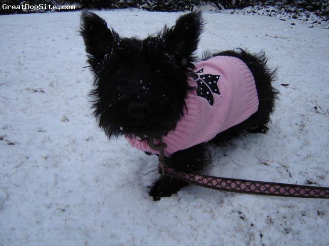 Scottish Terrier, 6 months, black, I purchased Paisley through Shady Nook Scotties.
