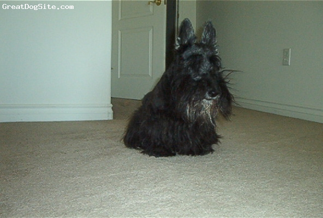 Scottish Terrier, 15, Black, Robbie is a 15 year old Scottish Terrier and still going strong.