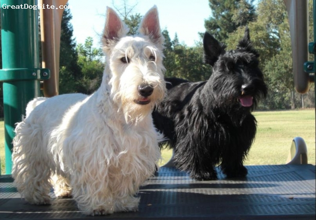 Scottish Terrier, 1 and 2, Wheaten and Black, Takin a break on the playground !