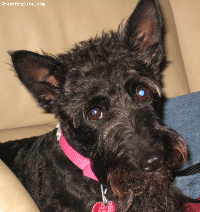 Scottish Terrier, 4, black with some brindle, Allee is a 4 yr old scottish terrier.  She is the most devoted, loyal doggie ever.