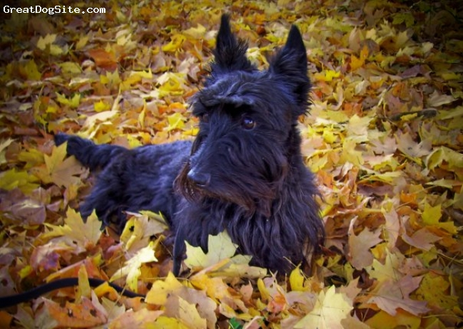 Scottish Terrier, 8, black, Bonnie Mae is a beautiful female Scottie who loves everyone and loves to go on walks and run, run, run. She is truly the love of my life!!