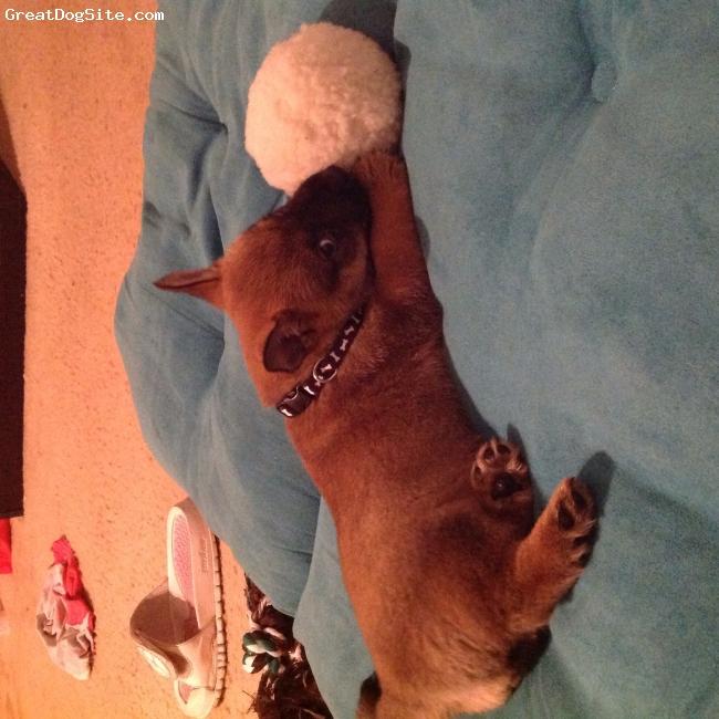 Shairn-Inu, 9 weeks, Sable, Shiba inu/ cairn terrier mix