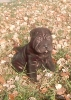 Shar Pei, 8 weeks, Black