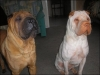 Shar Pei, 2 & 1, Cream and Fawn