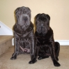 Shar Pei, 9 months old, Blue Brush Coat and Black Brush Coat