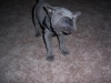 Shar Pei, 10 weeks, Blue