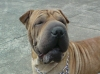 Shar Pei, 3 1/2, light brown