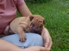 Shar Pei, 2 months, light brown