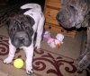 Shar Pei, 10 wks & 8 yrs, flowered and brindle