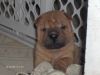 Shar Pei, 14 Weeks, Red Fawn/blk mask