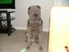 Shar Pei, 8 month, Blue