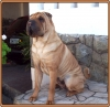 Shar Pei, 2 years old, red fawn