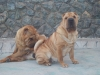 Shar Pei, 4 years old, red fawn
