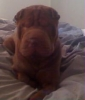 Shar Pei, 2  yrs, brown