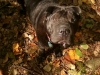 Shar Pei, 3 yrs, black
