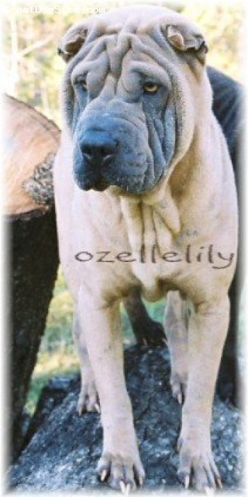 Shar Pei, 4 years, Isabella Dilute, OzelleLily-Shar-pei