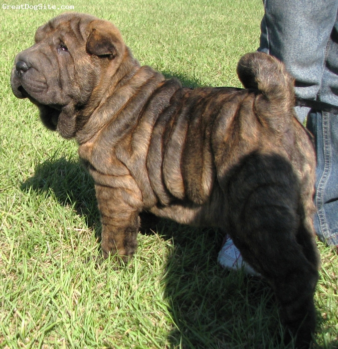 Musings Of A Biologist And Dog Lover Mismark Case Study Shar Pei