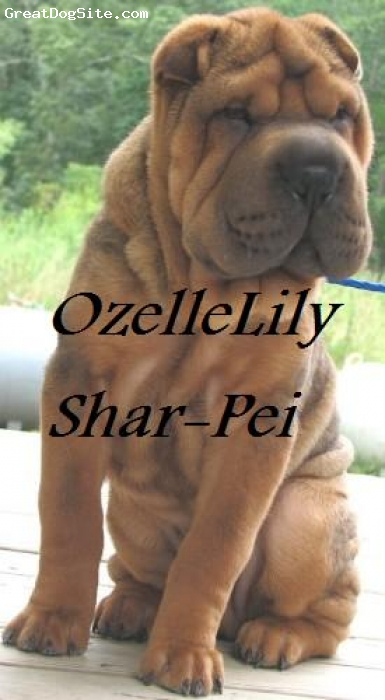 Shar Pei, 10months, Red/Sable, Brush coat Mohogany Red/Sable Shar-Pei