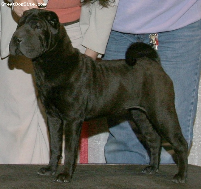 Shar Pei, 14 MONTHS, BLACK BRUSH COAT, Miss Piggy is owned by Verla/Bruce Randall from Randall Ranch Kennels