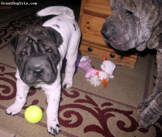 Shar Pei, 10 wks & 8 yrs, flowered and brindle, the best dogs ever!