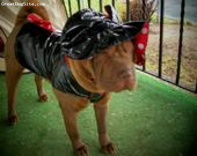 Shar Pei, 1.5, chocolate, she is a brush coat, very laid back, loves to be luved and pet