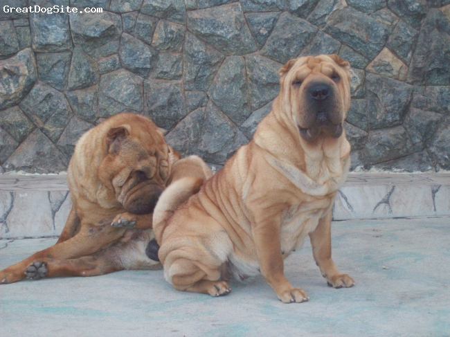 Shar Pei, 4 years old, red fawn, Hannah is a beaultiful CH.
